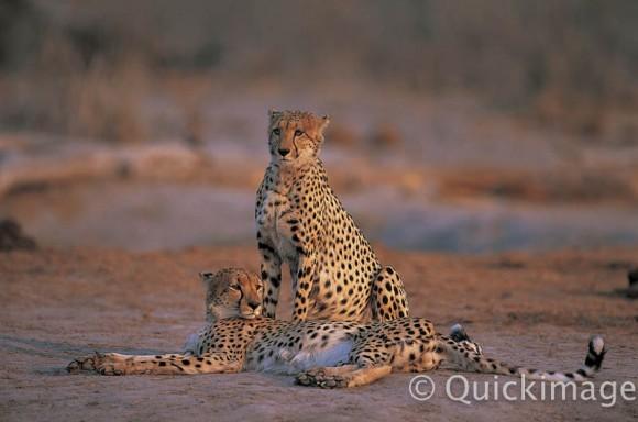 Foto leopardos QIANI433047