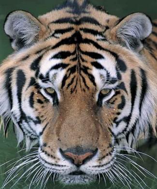 Foto tigre QIANI433022
